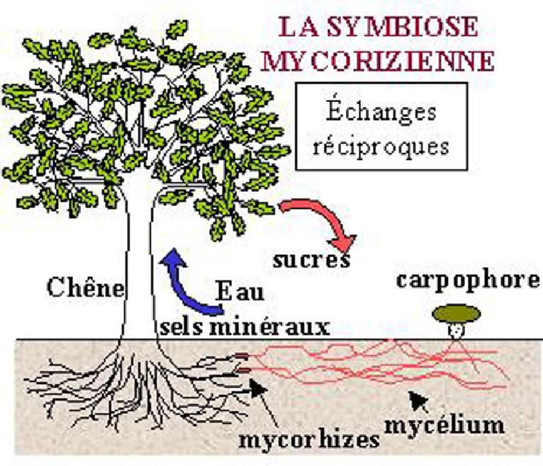 Les mycorhizes association egaliterre capbreton - Association plantes aromatiques entre elles ...